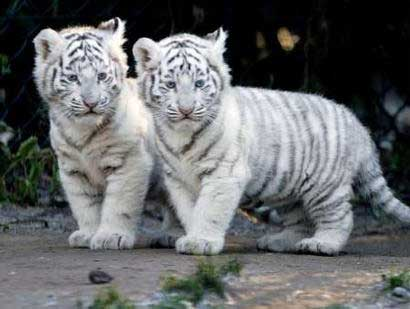 baby_white_tigers-965390.jpeg